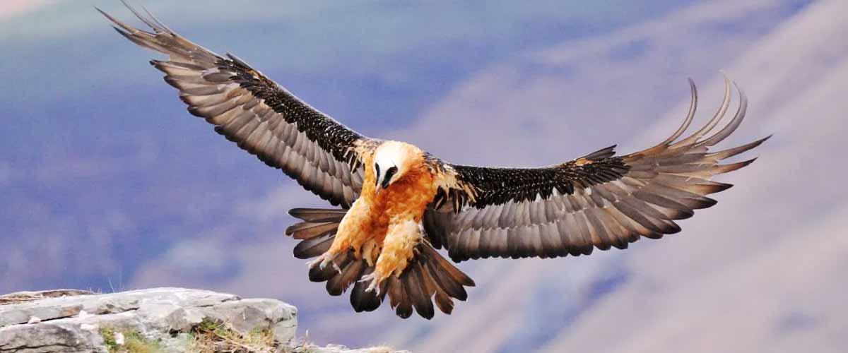 bearded vulture giants castle lammergeier hide